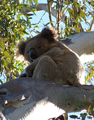 A Koala sitting in a tree