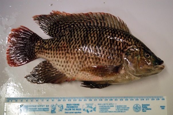 Male Mozambique Tilapia with red edging on its fins