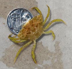 European shore crab