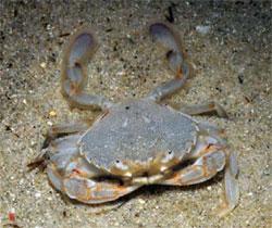 Ocean surf crab / Sand crab