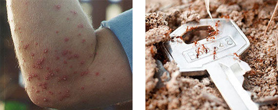 Two images combined that show the result of a fire ant bite and the other shows the size of the ants against a car key