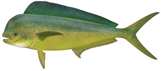 Dolphinfish (Mahi mahi)