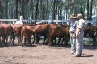 Observing yarded cattle