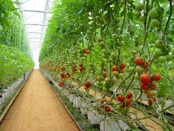 Hydroponic tomatoes