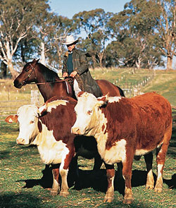 Two hereford cattle with a drover following