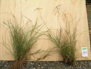 Tall Windmill Grass