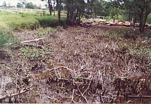 Damage to mangroves caused by cattle