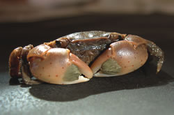 brush clawed shore crab