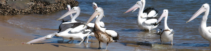 Pelicans covered in oil