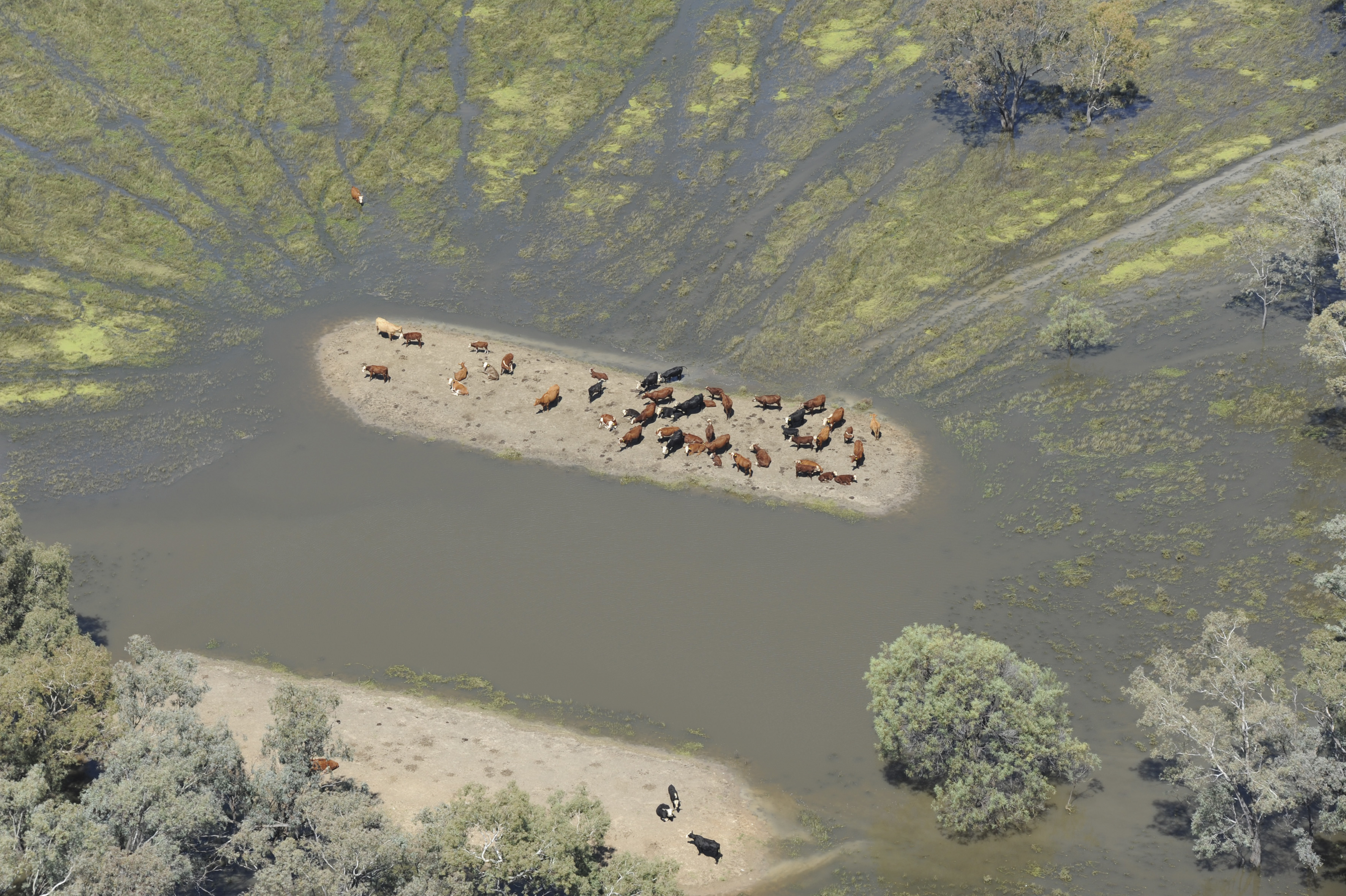 Cattle stand together surrounded by water with no escape passage