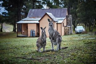 Two kangaroos standing in front of a hut looking towards the camera