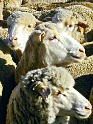 Sheep heads