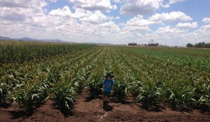 Lachlan Goodworth inspects sorghum trials at DPI Liverpool Plains Field Station at Breeza