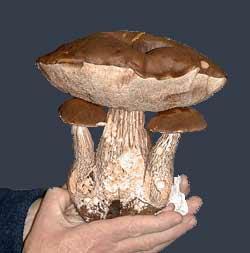 Fungal specimen