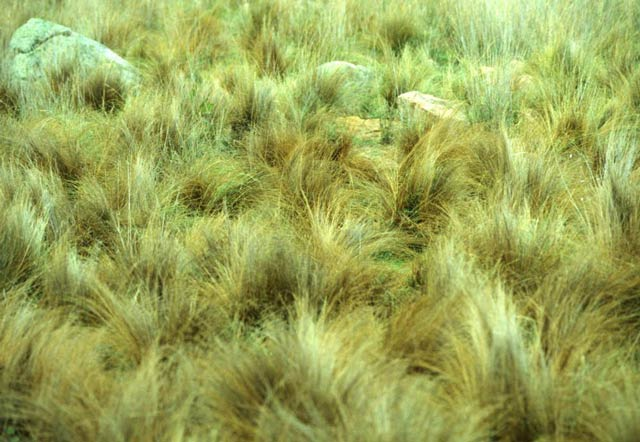 serrated tussock infestation