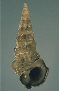 The native Mud whelk, Velacumantus australis