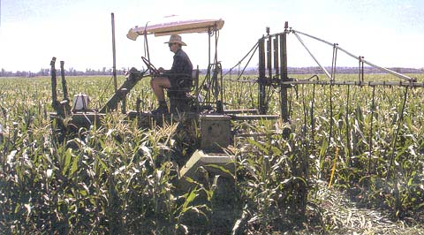 Spraying sweet corn