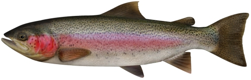 http://www.dpi.nsw.gov.au/__data/assets/image/0015/160035/rainbow-trout.jpg