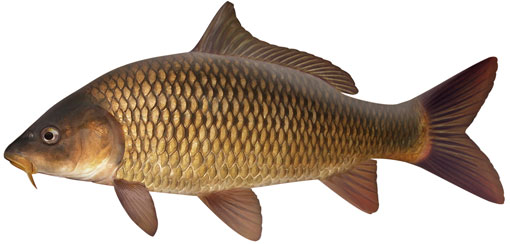 IMG:http://www.dpi.nsw.gov.au/__data/assets/image/0015/318300/Common-carp-Pat-Tully.jpg
