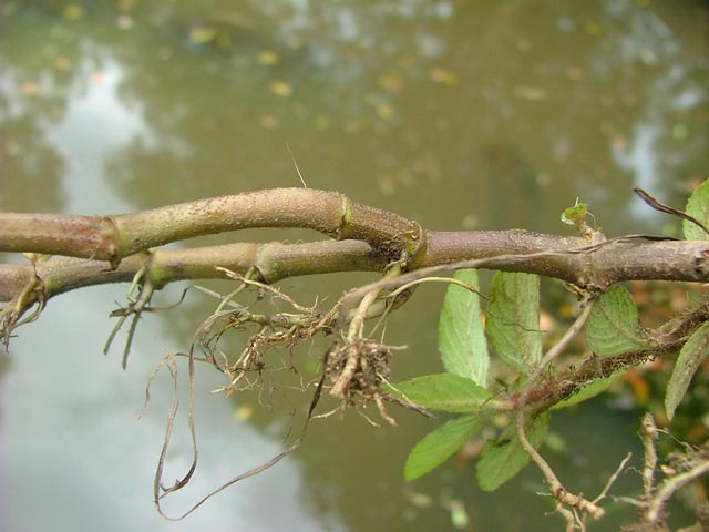 Hygrophila costata roots