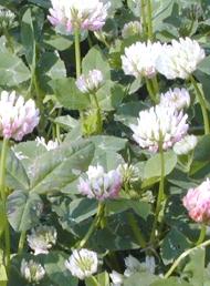 Gland clover