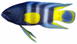 Eastern blue devil fish