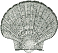 King scallop
