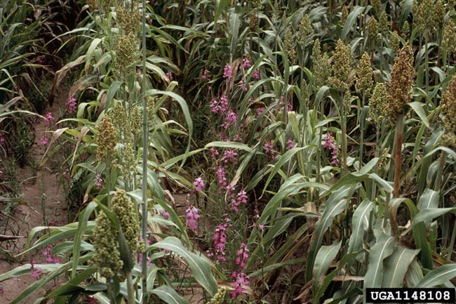 Witchweed causes severe damage to cereal crops.