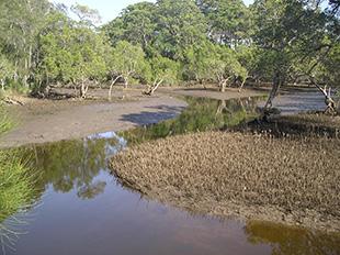 Mangroves and tidal creek