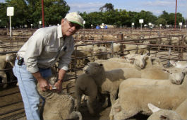 NLIS sheep with ear tag