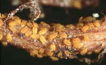 Phylloxera crawlers feeding on grapevine root