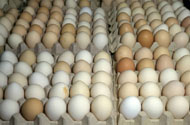 Eggs in cartons