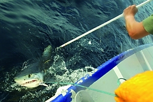 A shark being tagged