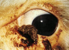 Cancer eye: horny growths