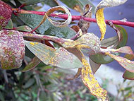 Myrtle Rust on broad-leaved paperbark