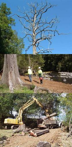 A large dead tree had to be removed by professionals