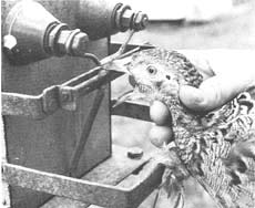 Beak trimming using a manually operated machine