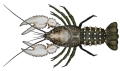 Murray crayfish