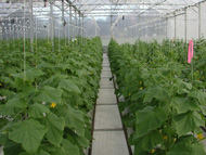 One of the greenhouses at Gosford Primary Industries Institute