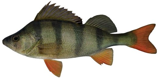 An image of Redfin perch