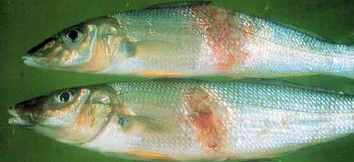 Lesions from red spot disease in whiting