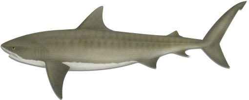 Tiger shark