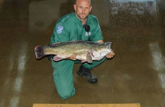 Murray Cod and setlines seized from Wagga area