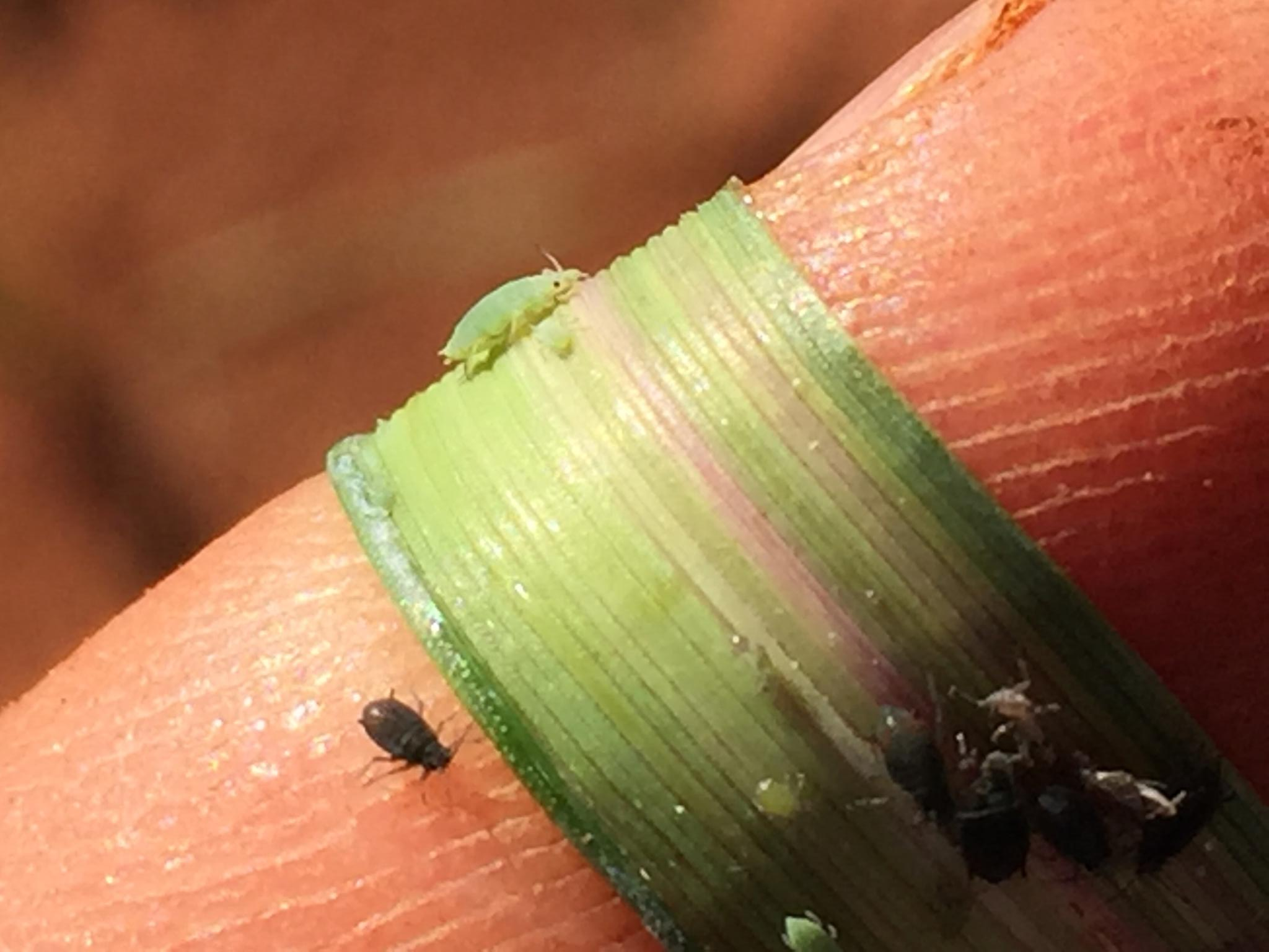Close up of Russian wheat aphis