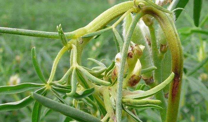 Lupin anthracnose causing lesions on plant, bent and twisted stems and pods