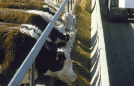 Beef nutrition and feeding