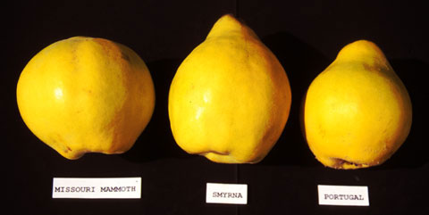Quince varieties 1