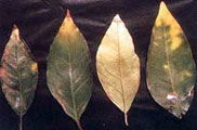 Potassium deficiency 4 leaves