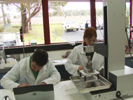 Technical officers measuring the shear force (tenderness) of goat meat samples.