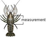 Measure murray crayfish